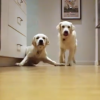 This 9 Month Time Lapse Of Golden Retriever Puppies Will Save Your Monday