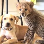 Watch This Cheetah And Puppy Be Best Buds Because Dammit You Need This