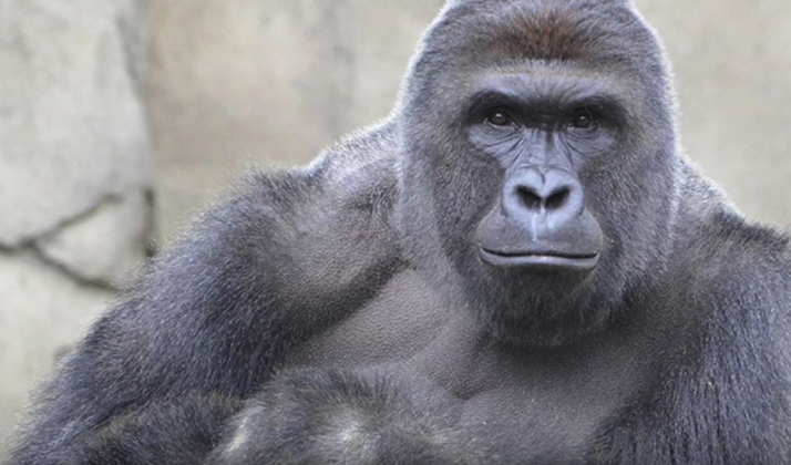 The 'Harambe McHarambeface' Story That We All Needed Is A Hoax