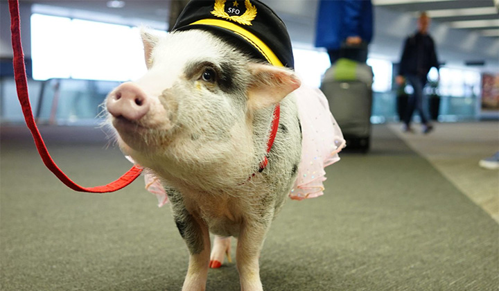 Yes, Really – San Francisco Airport Now Has An In-House Therapy Pig