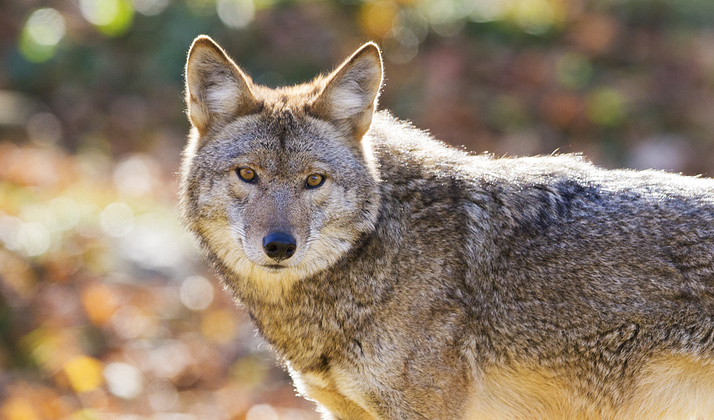 This Guy Raising A Coyote In His Home Lives Life In The Fast Lane